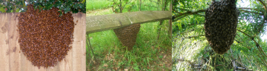 Found a Honeybee Swarm