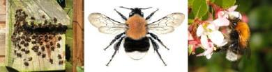 Tree Bumblebees