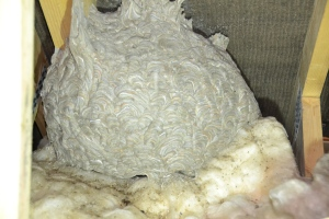 Wasp Nest - On Loft Insulation