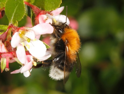 Bombus hypnorum male on Cotoneaster JEREMY EARLY(1)